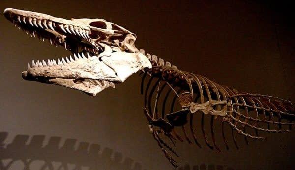 scheletro mosasauro