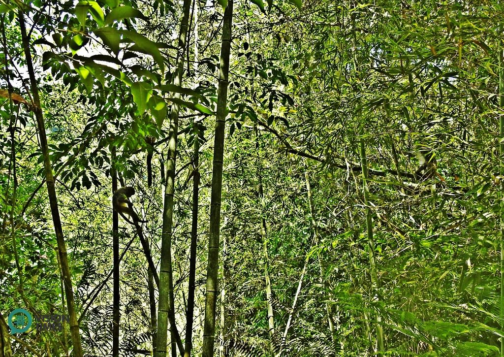macaco di Taiwan foresta di bambù