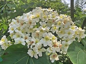 fiori Tung Taiwan fioritura