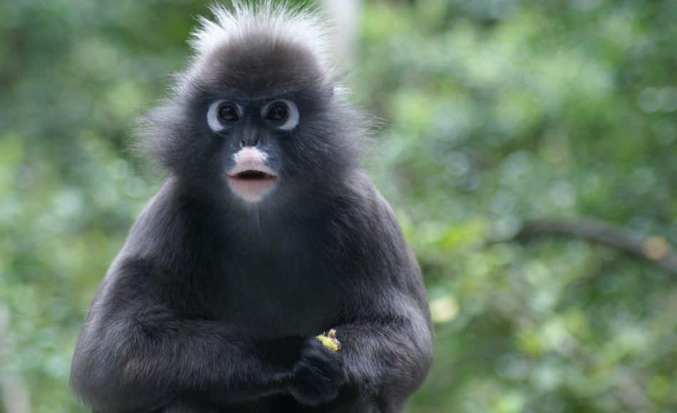 scimmia presbite
