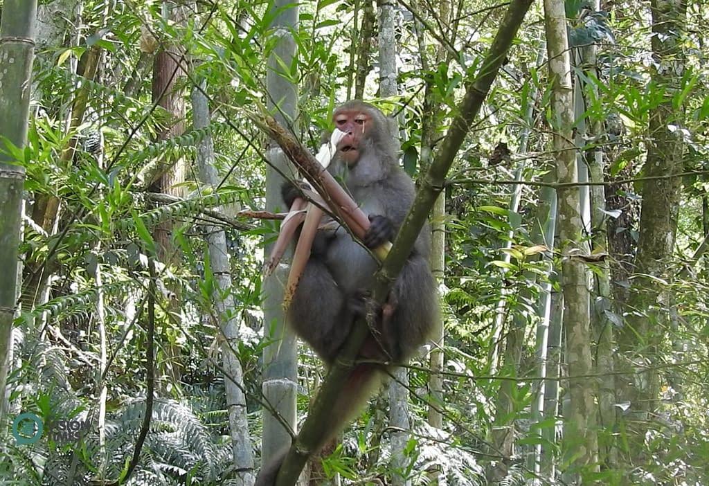 macaco di Taiwan macaco di roccia di Formosa