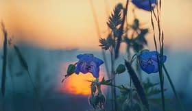 fiori tramonto spighe