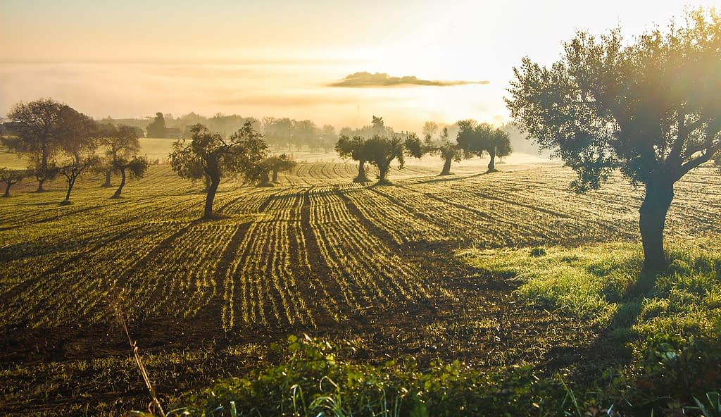 ulivo campo uliveto tramonto