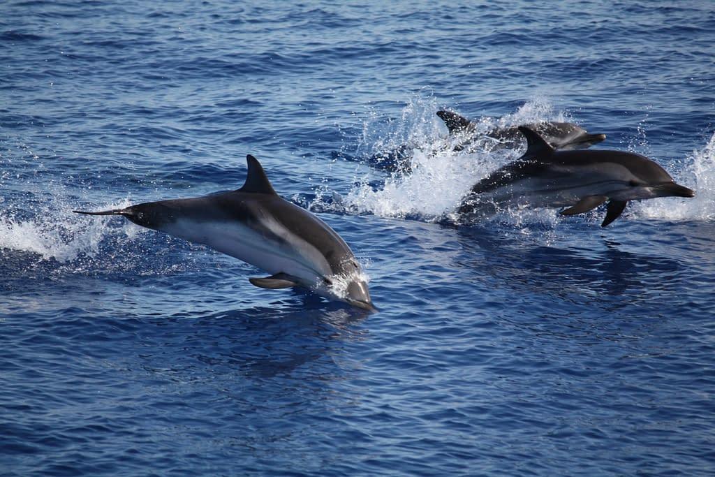 Delfini oceano onde