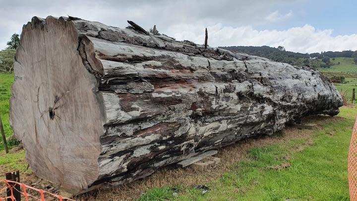 tronco albero kauri storia della terra