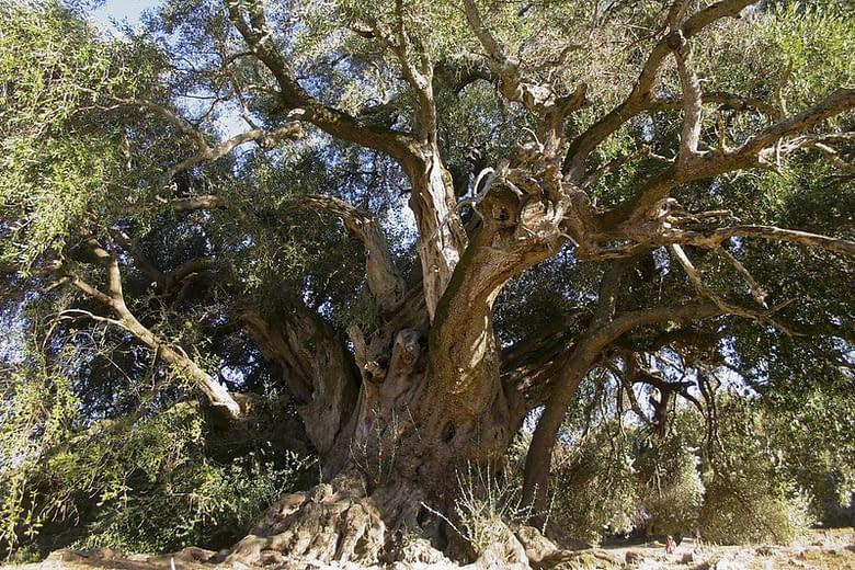 ulivo 4000 anni Sardegna
