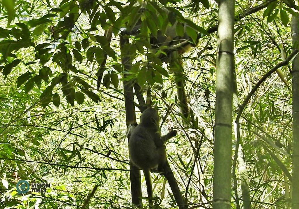 macado di Taiwan macaco di Formosa