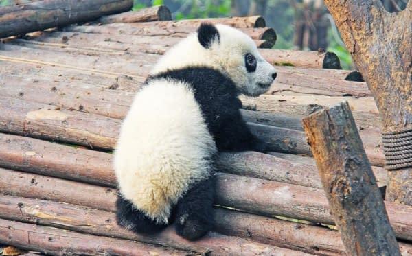 panda alberi